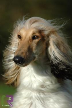 Photo of Afghan Hound