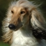 Photo of Afghan Hound