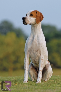 Photo of Pointer