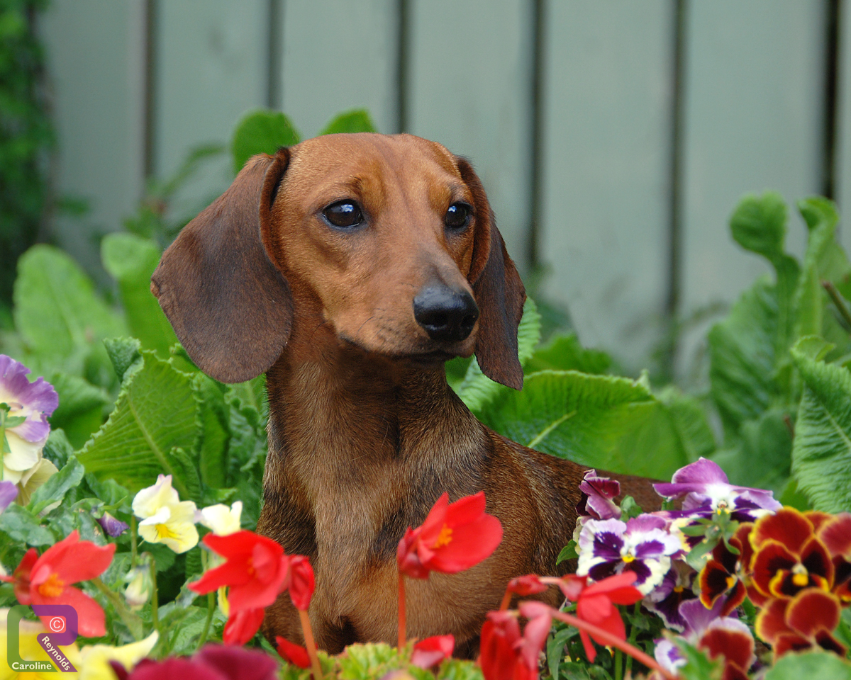 Photo of Miniature Smooth Haired Dachshund